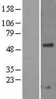 NBL1-15730 - Secretogranin 3 Lysate
