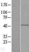 NBL1-09857 - Seladin 1 Lysate
