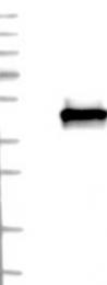 NBP1-90339 - Septin-3 (SEPT3)