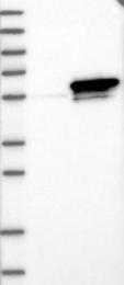 NBP1-89626 - Septin-6 / SEPT6
