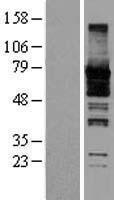 NBL1-07150 - Septin-9 Lysate