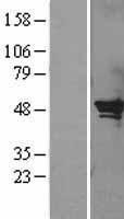 NBL1-15845 - SerpinB2 Lysate
