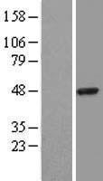 NBL1-15846 - SerpinB3 Lysate