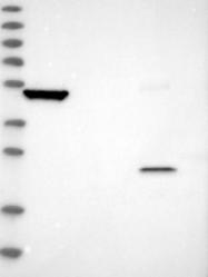 NBP1-82782 - SERPINB7