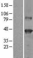 NBL1-15851 - SerpinB9 Lysate