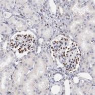 NBP1-87814 - Serum response factor (SRF)