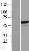 NBL1-15694 - Seryl-tRNA synthetase Lysate