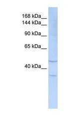 NBP1-59244 - CD328 / SIGLEC7
