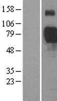 NBL1-15962 - Siglec 7 Lysate