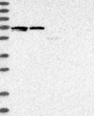 NBP1-83618 - SLAIN2