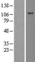 NBL1-16470 - Slingshot homolog 1 Lysate