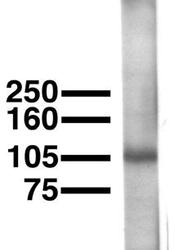 NBP1-44982 - KCNU1 / SLO3