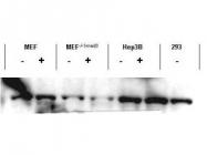 NBP1-77837 - SMAD3