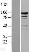 NBL1-16241 - Smek1 Lysate