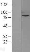NBL1-16278 - Snf1lk Lysate