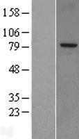 NBL1-15990 - SnoN Lysate