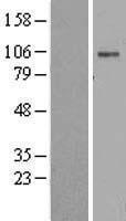 NBL1-07808 - Sodium Potassium ATPase Alpha 2 Lysate