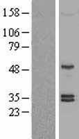 NBL1-15941 - Sonic Hedgehog Lysate