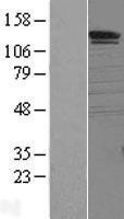 NBL1-16338 - SorCS1 Lysate