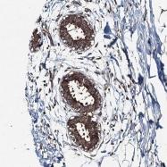 NBP1-92424 - Sorting nexin-32