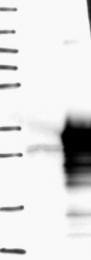 NBP1-90261 - SPAG7