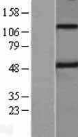 NBL1-17126 - Spinesin Lysate