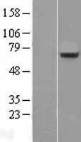 NBL1-15888 - Splicing factor, arginine/serine-rich 11 Lysate