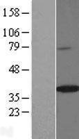 NBL1-16418 - Spondin-2 Lysate
