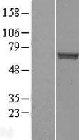 NBL1-16531 - Staufen Lysate