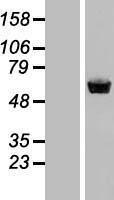 NBL1-16532 - Staufen Lysate