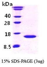 NBC1-18341 - Cystatin-B