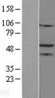 NBL1-13782 - Steroidogenic Factor 1 Lysate
