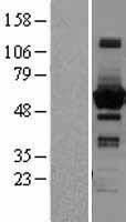 NBL1-15749 - Sterol carrier protein 2 Lysate