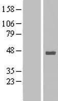 NBL1-16562 - Stomatin-like protein 1 Lysate