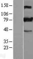 NBL1-16538 - Stromal interaction molecule 1 Lysate