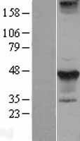NBL1-16590 - Styk1 Lysate