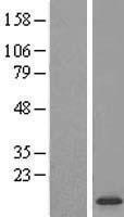 NBL1-16617 - Suppressor of Ty 4 homolog 1 Lysate