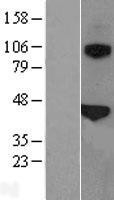 NBL1-15895 - Surfactant Protein B Lysate