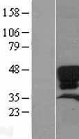NBL1-15897 - Surfactant protein D Lysate