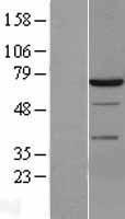 NBL1-16637 - Syk Lysate