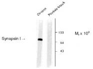 NB300-181 - Synapsin-1