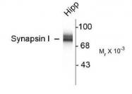 NB300-104 - Synapsin-1