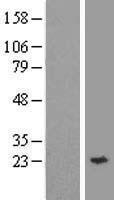 NBL1-17936 - Synaptobrevin homolog YKT6 Lysate