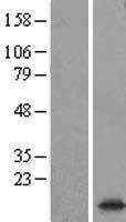NBL1-16640 - Synaptogyrin 1 Lysate
