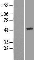 NBL1-16649 - Synaptotagmin 13 Lysate