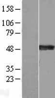 NBL1-16652 - Synaptotagmin 4 Lysate