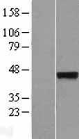 NBL1-16653 - Synaptotagmin 5 Lysate