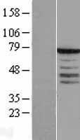 NBL1-16651 - Synaptotagmin Lysate