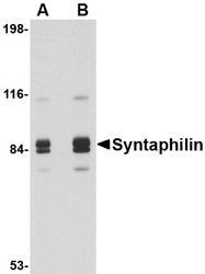 NBP1-76915 - Syntaphilin / SNPH
