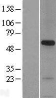 NBL1-16283 - Syntaphilin Lysate